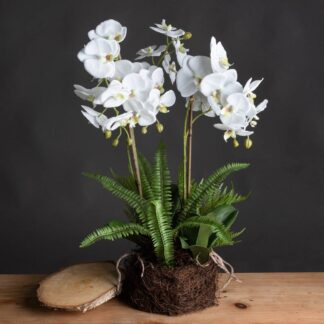 Large White Orchid And Fern Garden In Rootball
